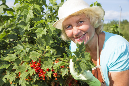 red currant: Woman gardener collecting red currant berries from the bush in garden Stock Photo