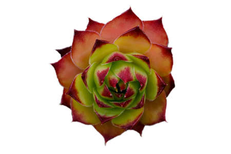 thor's: Isolated Sempervivum tectorum. Stock Photo