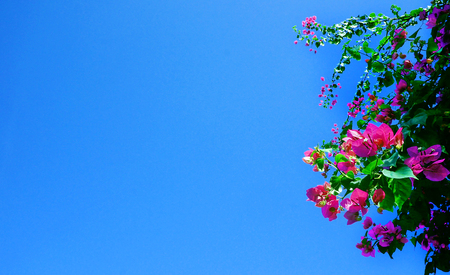 bougainvilleas: Pink blooming bougainvilleas against the blue sky. Stock Photo