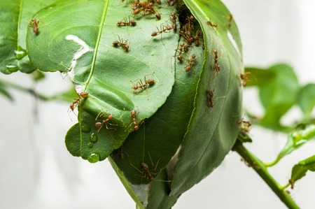 leaf cutter: Leaf cutter ants building new nest and manipulating Mango tree leaves to make nest.