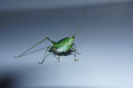 considering: green grasshopper on the wall in surprise considering the photographer Stock Photo
