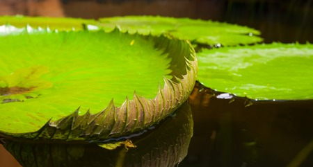 Leaf water lily reflected in a quiet pond.