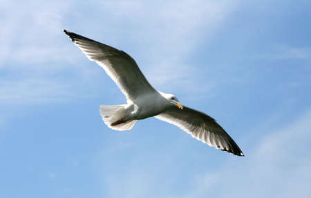 unbound: Seagull in the flight with wings wide spread; photographed in a sunny summer day with a clear blue sky and light clouds. Stock Photo