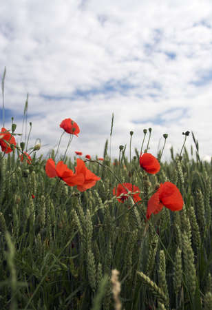 Poppies on the wheat field photo