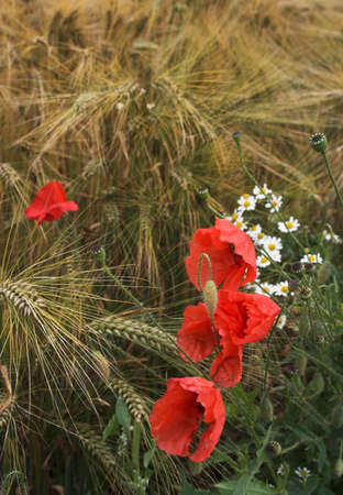 Poppies and daisies growing on the edge of the rye field photo