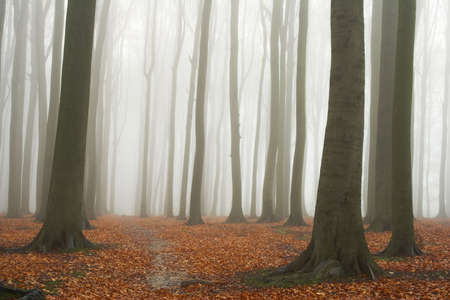beechwood: Misty autumn beech forest; ground covered by fallen leaves