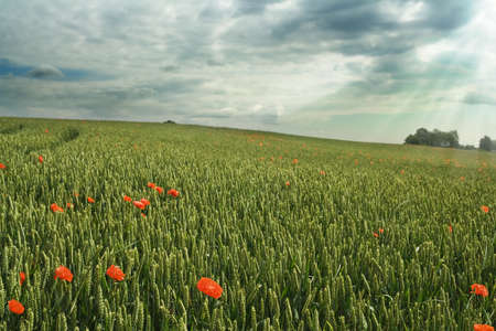 Wheat field under cloudy sky; red poppies photo