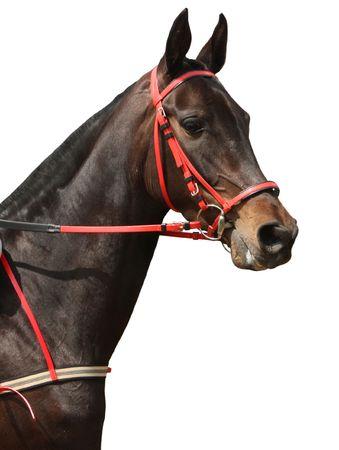 thoroughbred horse: Beautiful horse on white background.