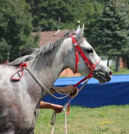 Grey arabian horse Pirma,hippodrome Pyatigorsk, Caucasus, Russia.  Stock Photo - 10379723