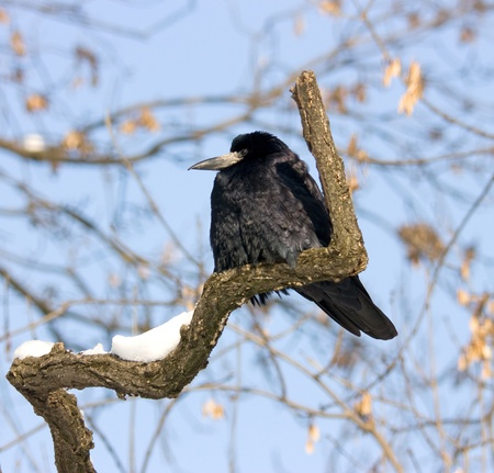 onward: Carrion Crow perched on a branch looking onward Stock Photo