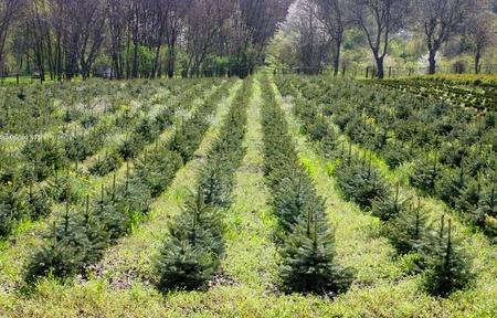 A beautifully shaped Blue Spruce Tree,seedlings.Northern Caucasus,Russia.