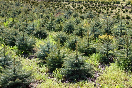 A beautifully shaped Blue Spruce, Treeseedlings.Northern Caucasus,Russia. Stock Photo