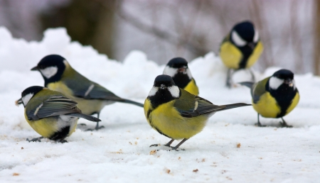 Great tits (parus major) standing on snow,Caucasus.