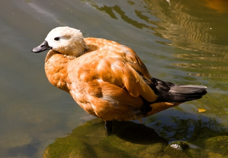 Animal at the Moscow zoo,Ruddy Shelduck photo