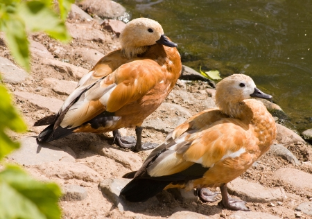 Animals at the Moscow zoo,Ruddy Shelduck photo