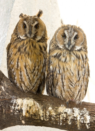 Two owls watching in camera  photo