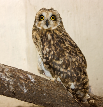Eagle-owl  watching in camera  photo
