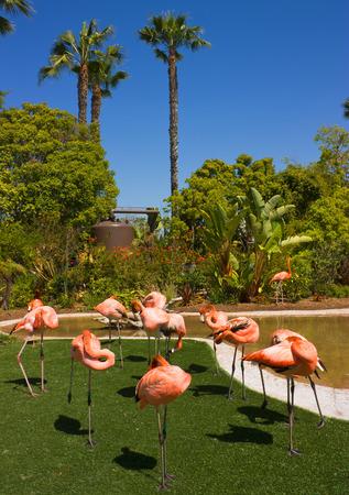 flamenco ave: Hermosa ave de color naranja flamenco, California.