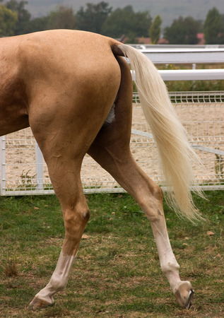 The tail of a akhal-teke horse pictured at the hippodrome.
