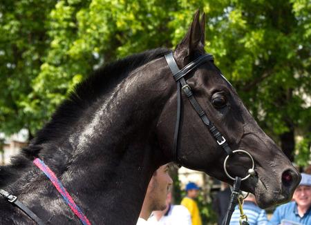 pyatigorsk: Ritratto bel cavallo, Pyatigorsk, Russia. Archivio Fotografico