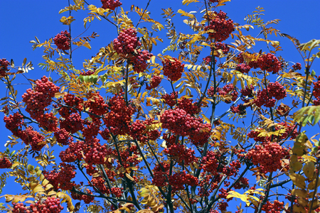 rowan tree: Rowan tree on blue sky background