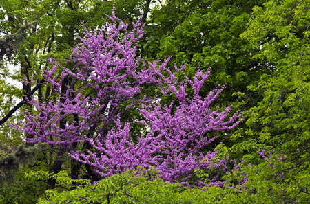 redbud tree: RedBud Tree (Judas Tree) Blooms on green background.
