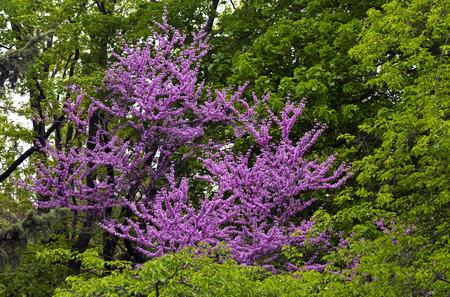 redbud: RedBud Tree (Judas Tree) Blooms on green background.