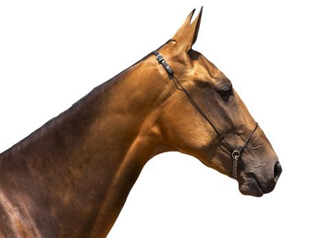 Portrait of beautiful akhal-teke horse on white background.