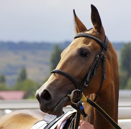 Portrait of beautiful akhal-teke horse.