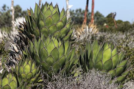 Beautiful cactus in Balboa Park, San Diego, California.