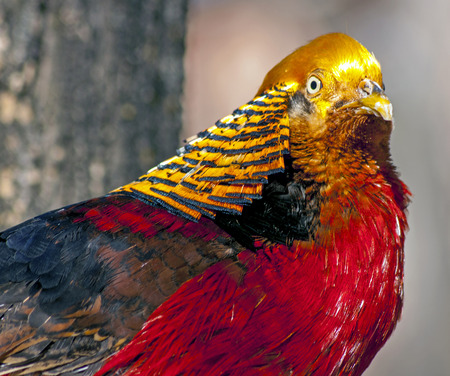 Vividly colored Golden Pheasant peering to right.
