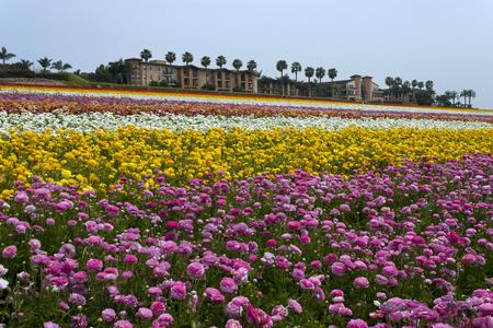 Rows of colorful flowers grow on a hillside in Carlsbad, California,America Reklamní fotografie