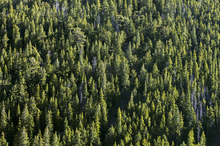 Dense forest of evergreen trees in the Colorado Rockies,America.