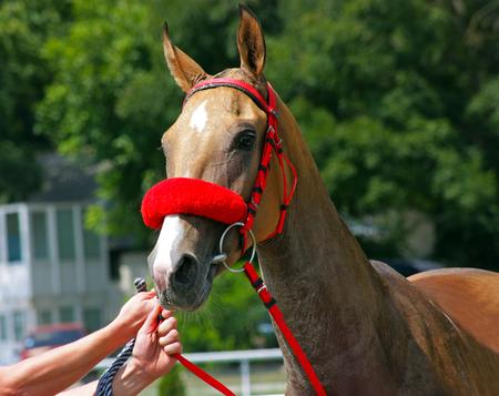 Beautiful akhal-teke horse getting ready for an endurance race. Stock Photo