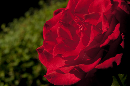 Beautiful red rose from Northern Caucasus,Russia.