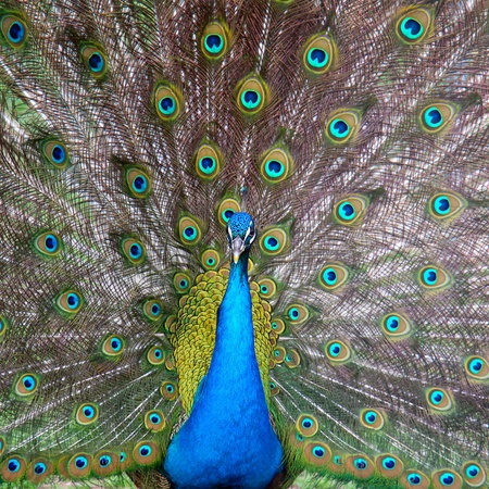 peacock with a tail Stock Photo
