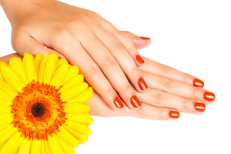manicure on hands of a young woman and gerbera isolated photo
