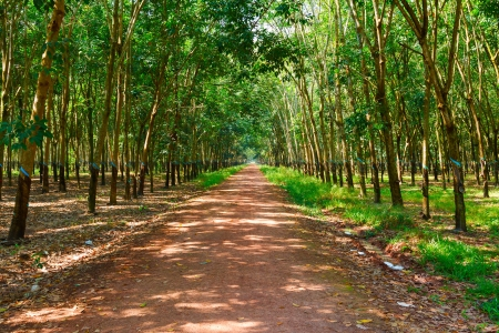 plantations of rubber trees on a sunny day in Vietnam photo