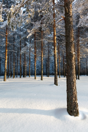 Winter pine forest in the sun and blue sky Stock Photo - 18084843