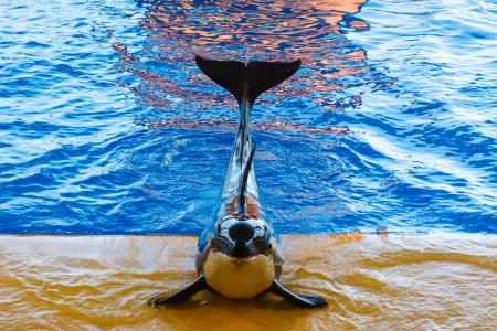 grampus: Killer Whale show at the aquarium