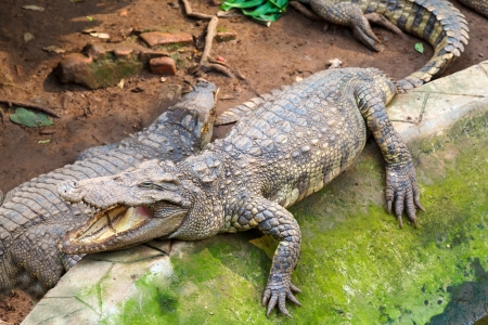 crocodile on earth photo