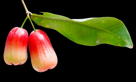water apple, chomphu, rose apple, Malabar plum on the tree isolated on black background photo