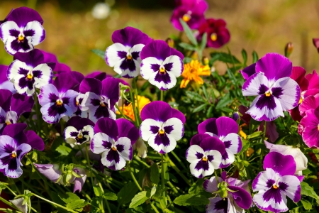 Pansy flower in a rustic flower pot photo