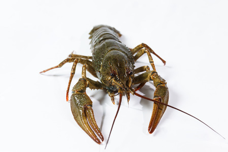 alimentation: one live crayfish on a white background