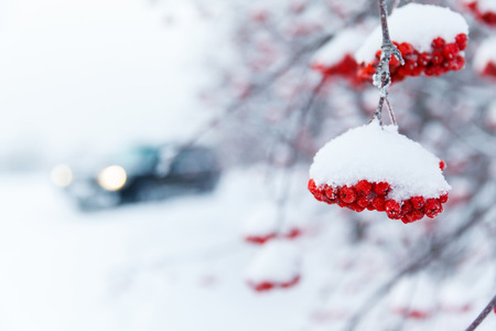 ashberry branch in a snow and the silhouette of the car photo