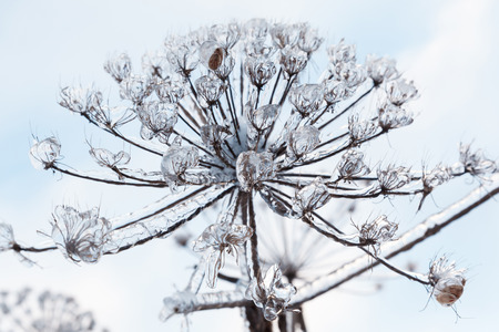 cow parsnip covered ice and snow after a icy rain.