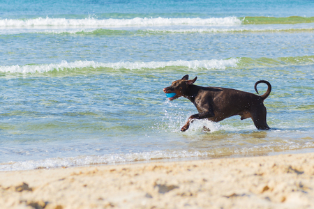 Red Ridgeback running and playing in the sea, Tel Aviv, Israel Stock Photo