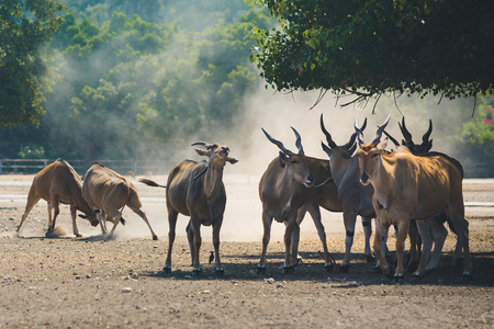 A herd of beautiful big eastern bongo antelopes, extremely rare animal grazing in the reserve in a safari. A sparring with their horns during mating time. Stock Photo