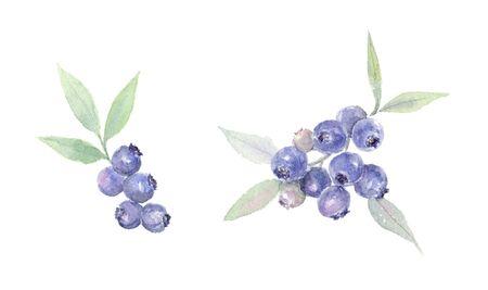Watercolor illustration of blueberry Reklamní fotografie