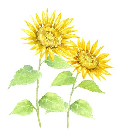Watercolor Illustration of Sunflower. 向量圖像